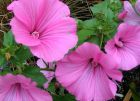 Pink Lavatera Flowers