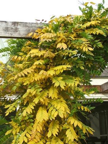 Wisteria Autumn Yellow