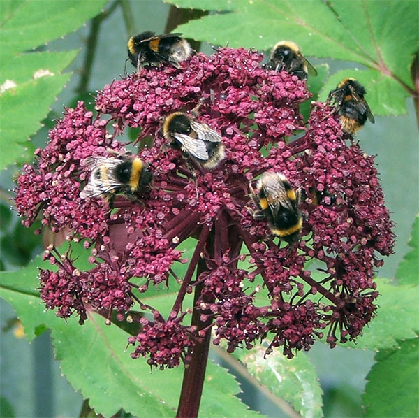 Angelica Types of Flowers