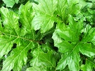 Acanthus Green Leaves