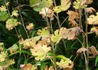 Autumn Iris Leaves