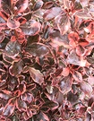 Coprosma Red Leaf