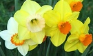 Daffodil Group