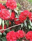 Flowering Red Rhododendron