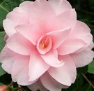 Pink Baby Camellia