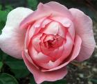 Pink Cupped Rose