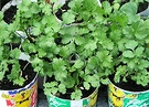 Seedlings Coriander
