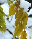 Wisteria Snow Leaves