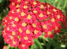 Achillea Flower Red