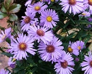 Aster Blue Flowers