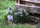 Aster Flowers Garden Fence Post