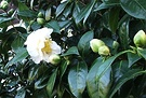 First Cream Camellia