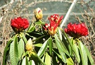 First Red Rhododendron