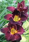 Lily Day Maroon