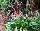 Spikes Lily Cordyline