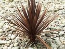Stones Cordyline Red