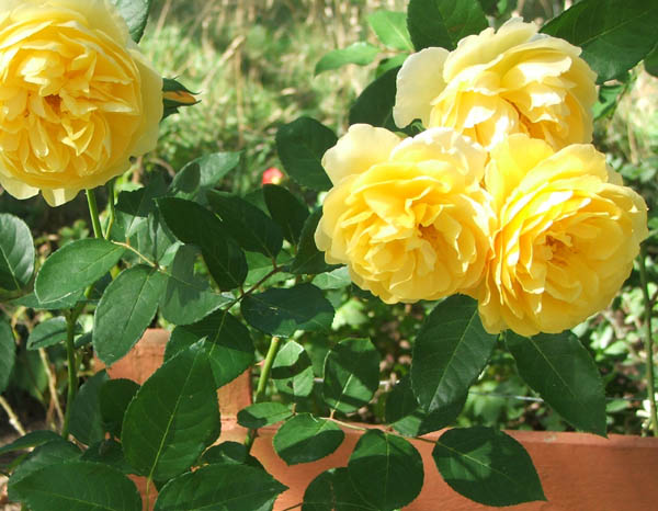 Gallery For Yellow Rose Garden Pictures