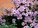 Autumn Asters Patio