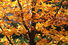 Autumn Beech Copper