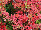 Berberis Colour Shrub