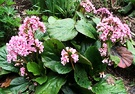 Bergenia Clump Flowering