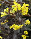 Brown Yellow Perennial