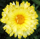 Calendula Flower Lemon