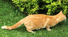 Cat Ginger Hunting