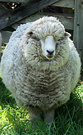Fat Fred Sheep