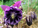 Old Fashioned Columbine