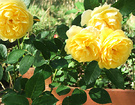 Rose Flower Yellow