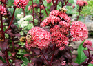 Sedum Red Bee