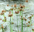 Seeds Water Grass