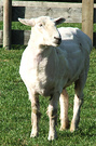Shorn Fred Sheep