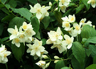 Shrub Flower Philadelphus