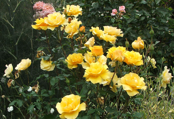Gallery For Red And Yellow Rose Garden