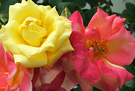 Pink Yellow Roses