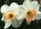 Two Daffodil Apricot