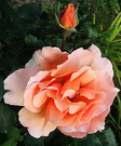 Unknown Apricot Rose
