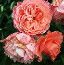 Unknown Rose Peachy