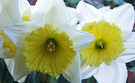 White Yellow Daffs 2