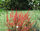 Winter Lawn Berberis