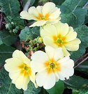 Winter Lemon Primrose