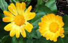 Autumn Calendula Colour