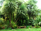 Bench Cordylines