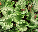 Common Cyclamen Leaves