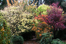 Cotinus Prunus Fall