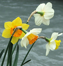 Mixed Daffodils Water