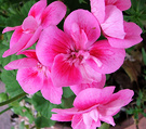 New Pelargonium Pink