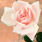 Newdawn Pink Rose